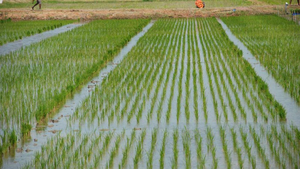 BUA Group partners Kano farmers to boost local rice production